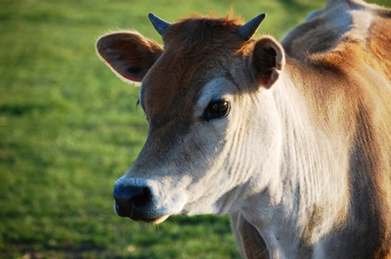 Cows smuggled with mouths stitched