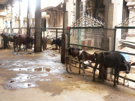 Cows becoming endangered in Tamil Nadu