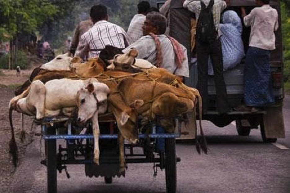 Anti-Cow slaughter legislation: Panic in Bangladesh